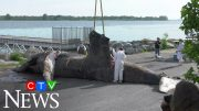 Veterinarians say boat strike may have killed Montreal's humpback whale 2