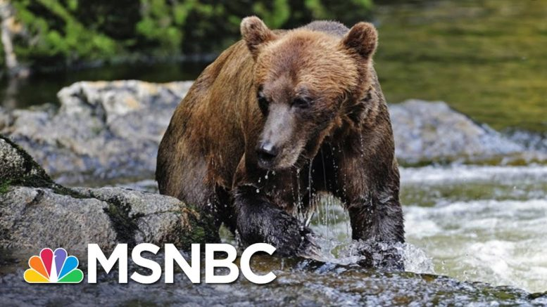 Trump Ends Obama-Era Ban On 'Barbaric' Hunting Practices | The 11th Hour | MSNBC 1
