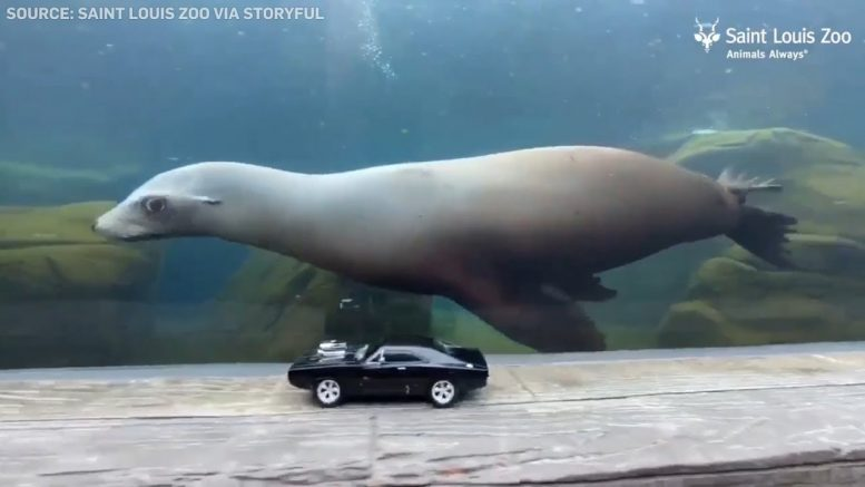 Sea lions chase toy cars at St. Louis zoo 1