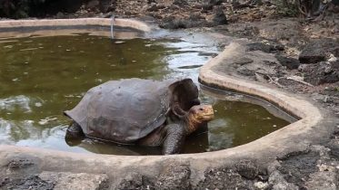 Galapagos tortoise saves species from extinction 10