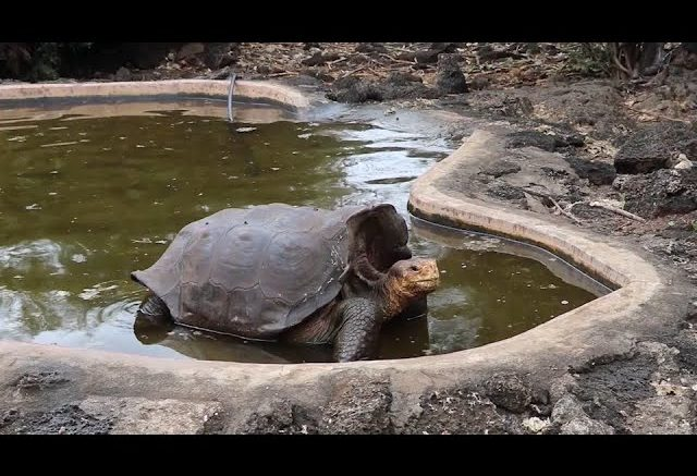 Galapagos tortoise saves species from extinction 1
