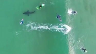 Caught on camera: Surfers have close encounter with a massive Great White Shark 6
