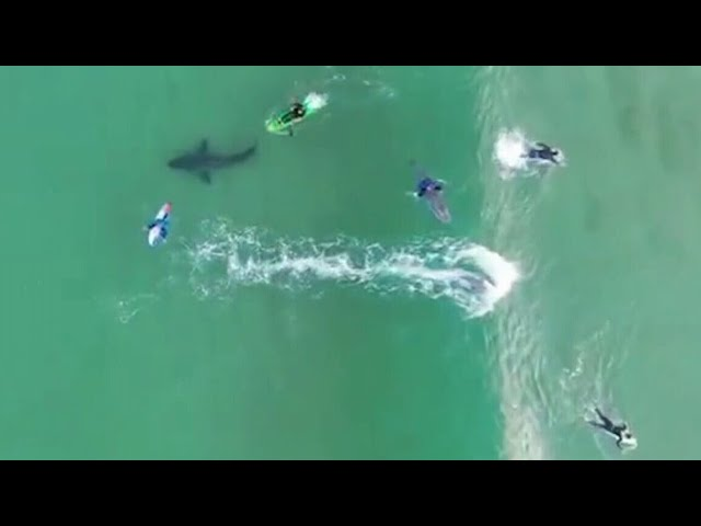 Caught on camera: Surfers have close encounter with a massive Great White Shark 9