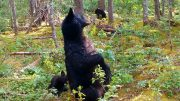 What do bears do when nobody is around? Look at this high-definition trail footage 2