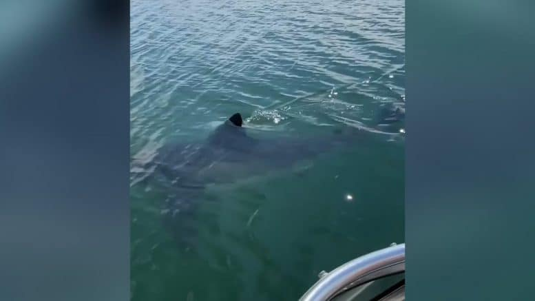 Great white shark caught on camera off Nova Scotia waters 1