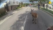Florida police officers catch escaped kangaroo 4