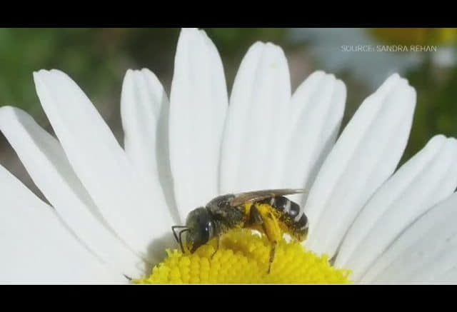 Future of bees in Canada unsure with expanding agriculture 1