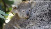 Aussie wildlife sanctuary celebrates koala births 3