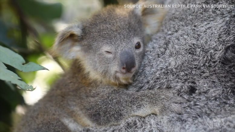 Aussie wildlife sanctuary celebrates koala births 1