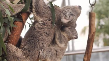 Urgent efforts in place to save koalas from extinction 6