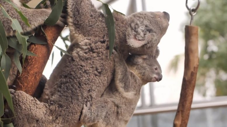 Urgent efforts in place to save koalas from extinction 1