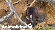 Rescuer saves kangaroo from death...twice | Animalkind 5
