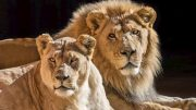 L.A. Zoo euthanizes 'soulmate' duo of African lions 2