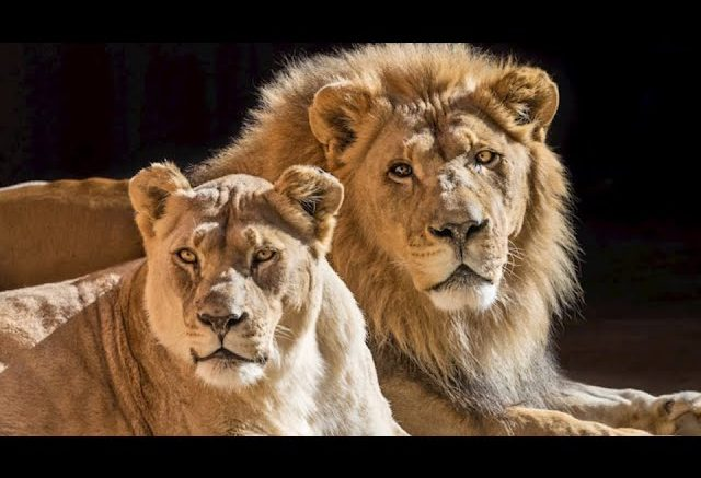 L.A. Zoo euthanizes 'soulmate' duo of African lions 1