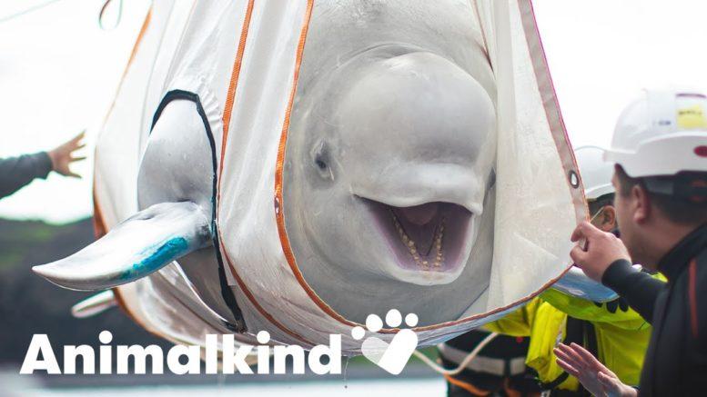 Belugas take first breath of fresh air in years | Animalkind 1
