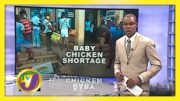 Shortage of Baby Chickens in St. Elizabeth - August 28 2020 3