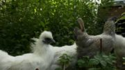 What the cluck? You can now rent a chicken in Calgary 5