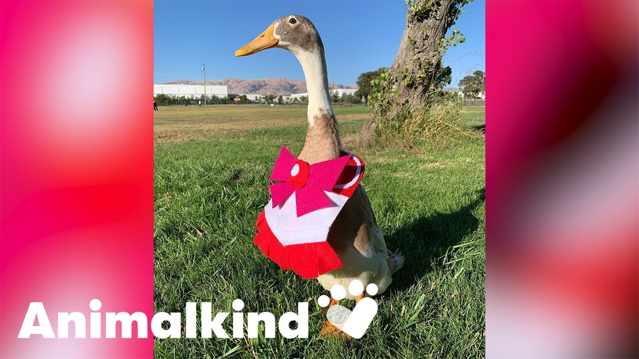 Dapper duck cosplays with his human | Animalkind 1