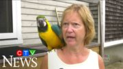 Crime-fighting parrot tries to alert owner of thief inside Brockville, Ont. home 3