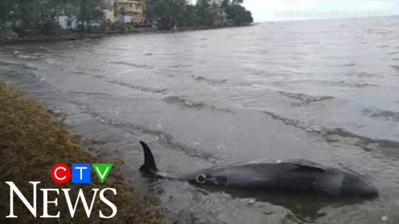14 dolphins die in Mauritius near Japanese ship's oil spill 1