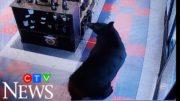 Caught on cam: Black bear goes on beer run in B.C. 2