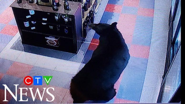 Caught on cam: Black bear goes on beer run in B.C. 1