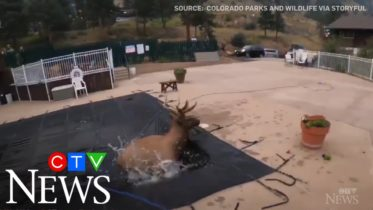 Caught on cam: Bull elk rescued after falling into pool 6