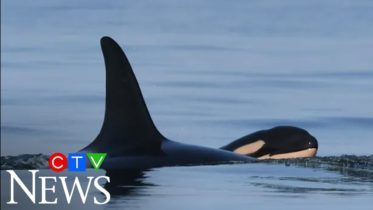 J35, the killer whale that carried her dead calf across the ocean for weeks, has given birth again. 6