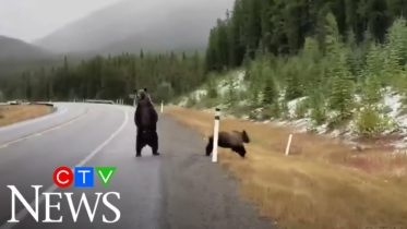 Family of grizzly bears spotted in Alberta's Rockies 4