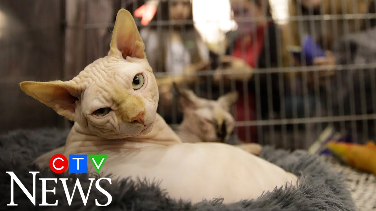 Cats may be catching COVID-19 more often than thought 8
