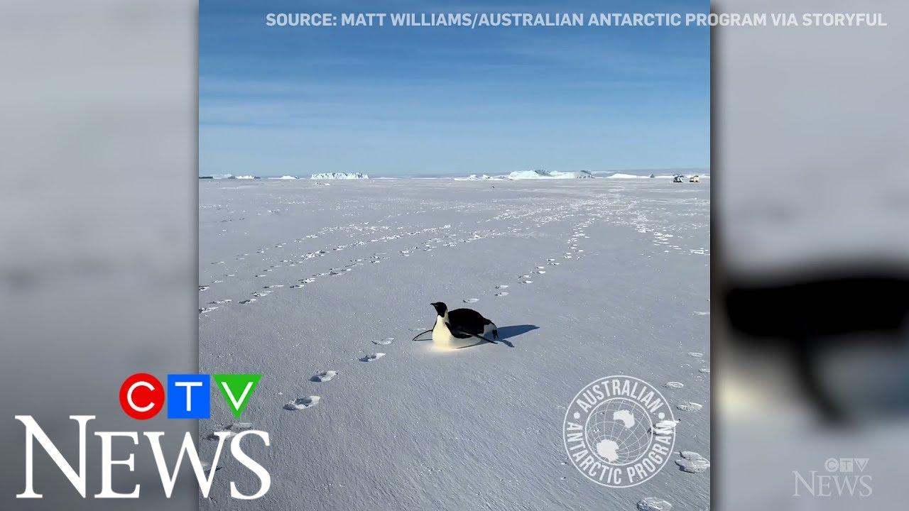 Penguin follows group of explorers on Antarctic sea ice 6