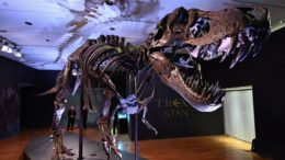 T-rex skeleton could fetch record price at New York auction 6