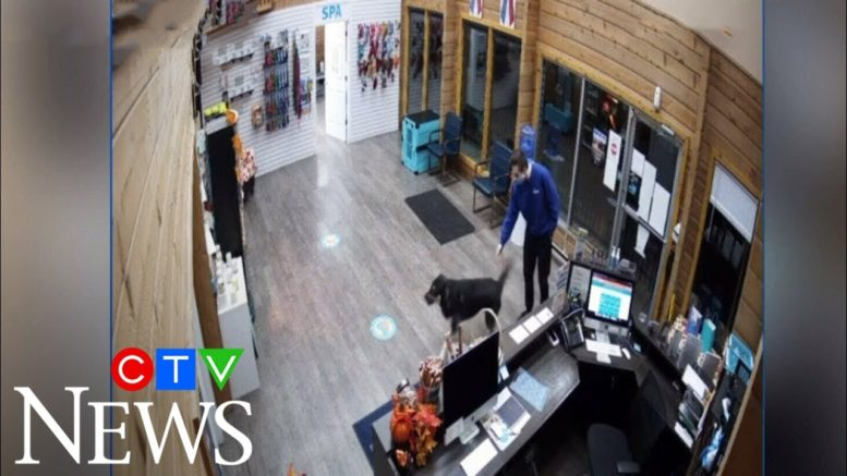 Dog decides to walks itself to a pet spa after escaping yard 1