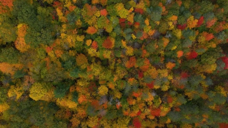 Drone footage captures beautiful fall foliage from high above Ontario's Ganaraska Forest 1