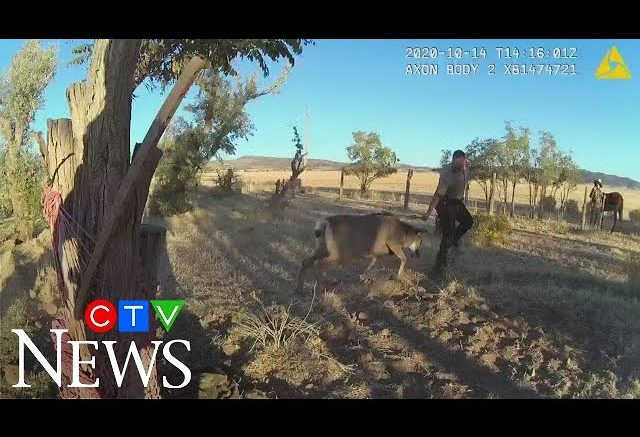 Caught on cam: Entangled deer charges at wildlife officer 1