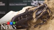 67-million-year-old fossil appears to show dino fight 2