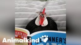 Footless rooster finds forever home | Animalkind 5