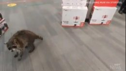 Raccoon goes 'shopping' in T.O. technology store 3