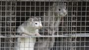 Denmark culls mink to stop a mutated strain of COVID-19 5