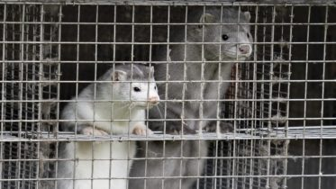 Denmark culls mink to stop a mutated strain of COVID-19 6