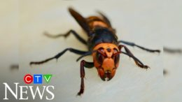 Queen 'murder hornet' found in B.C. after large nest discovered in Washington 8