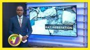 Rat Infestation in Mobay - November 11 2020 5