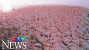 Mesmerizing flock of flamingos filmed by drone in Kazakhstan 3