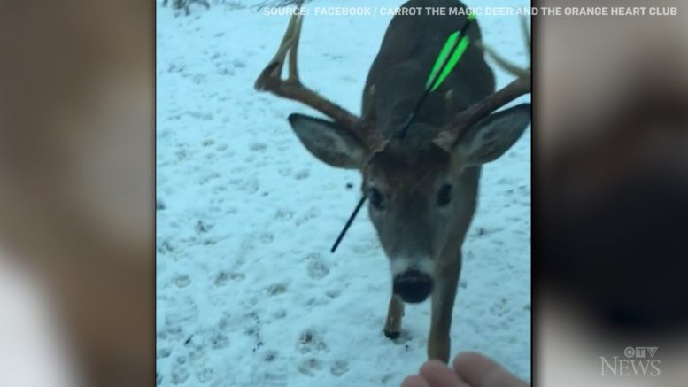'Carrot' the deer found with crossbow bolt through its head 1