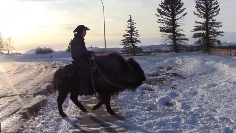 Alberta man rides his buffalo to the grocery store 1