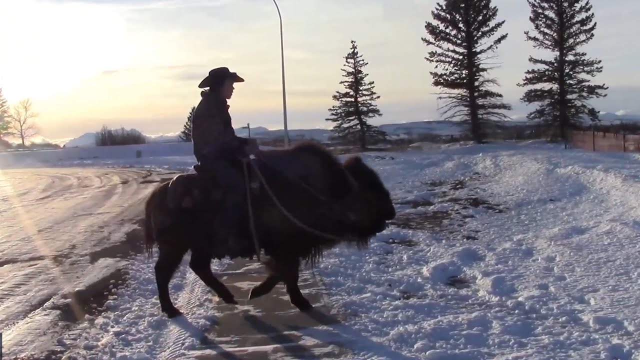 Alberta man rides his buffalo to the grocery store 7