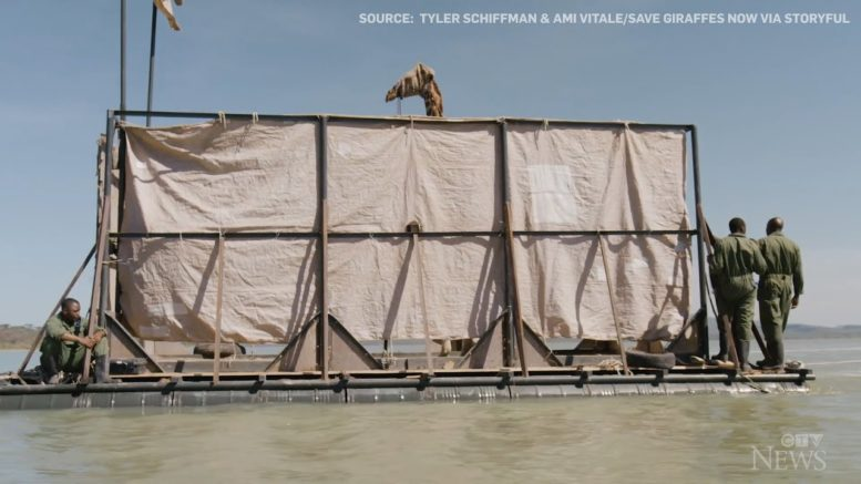 Rescue crew uses steel barge to relocate stranded giraffe 1