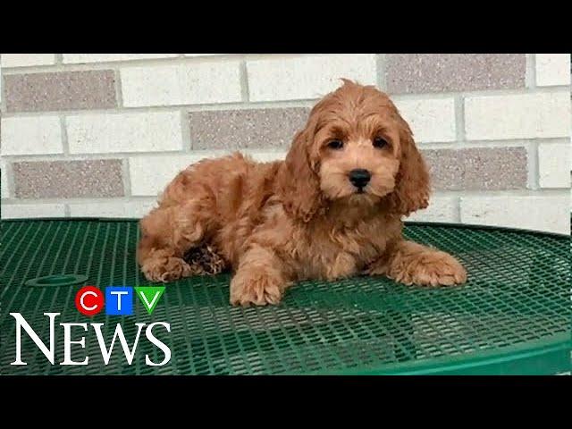 Ontario man loses over $3,000 in online puppy scam 1