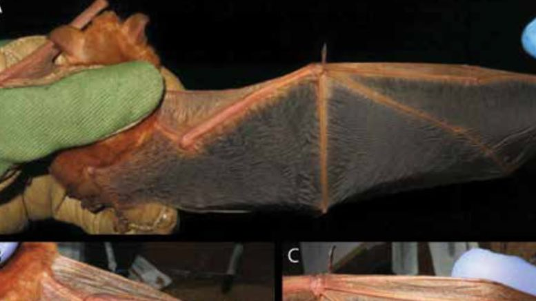 New bat species discovered in West Africa 1