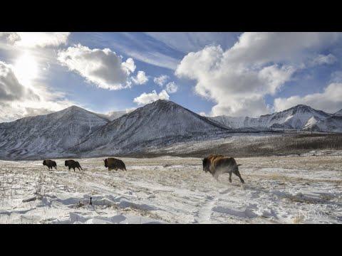 Bison return to Alberta national park after 2017 wildfires 1